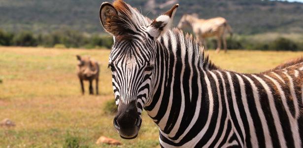 Uma zebra é um animal preto com listras brancas ou um branco com listras pretas? - 29.06.2020